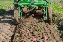 Working in potato field with tractor. Fresh organic potatoes are harvested with a mini tractor Royalty Free Stock Photo