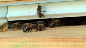 Working process of bees in a beehive stock video