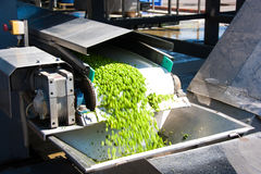 Working process of the production of green peas on cannery. Movement on the conveyor Royalty Free Stock Photography