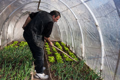 Working in real greenhouse Stock Photography