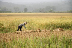 Working in the rice field. A peasant is harvesting rice in the field in central Thailand Stock Images