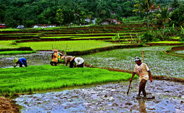Working at rice field Stock Photography