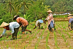 Working at rice field Royalty Free Stock Images