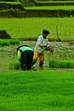 Working at rice field Royalty Free Stock Photography