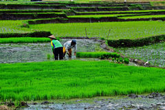Working at rice field Stock Photo
