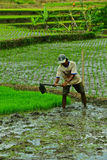 Working at rice field Stock Images