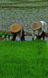 Working at rice field Royalty Free Stock Photos