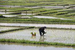 Working in the rice fields in operation. Working in the rice fields located in Vietnam Stock Images