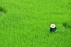 Working in the rice fields. Sa Pa, North Vietnam. It looked like the woman was hidden behind the rice fields, but she was working cleaning the field stock image