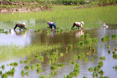 Working in the rice fields Stock Photography
