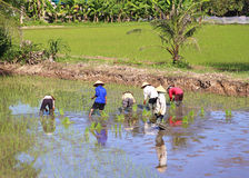 Working in the rice fields Stock Image