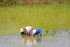 Working in the rice fields Royalty Free Stock Photo