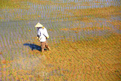 Working in the rice fields Stock Photo