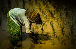 Working in the ricefield Stock Image