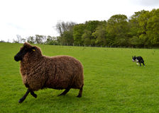 Working With The Sheep Stock Photography