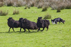 Working Sheep Dog stock photography