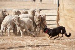 Working sheep dog. Stock Image