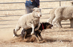 Working sheep dog. Royalty Free Stock Images