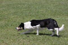 Working Sheep Eye Dog royalty free stock photo