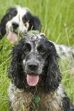 Working spaniels Royalty Free Stock Photo