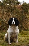 Working Springer Spaniel Dog Royalty Free Stock Images