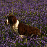 Working Springer Spaniel Dog. A fine example of working Springer Spaniel dog on a bluebell lawn Stock Images