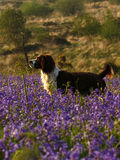 Working Springer Spaniel Dog. A fine example of working Springer Spaniel dog on Holwell bluebell lawn Stock Photo