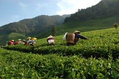 Working at Tea Plantation Royalty Free Stock Image
