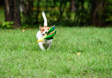 Working terrier dog training fetching with toy duck. Jack Russell Terrier walking on green grass lawn Stock Images