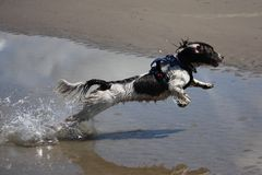 A working type engish springer spaniel pet gundog jumping on a sandy beach Stock Photo