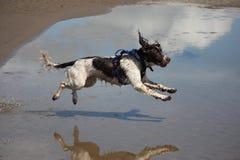 A working type engish springer spaniel pet gundog jumping on a sandy beach Royalty Free Stock Image