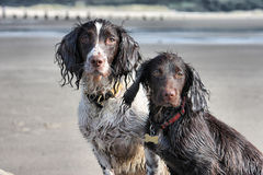 A working type english springer and cocker spaniels sat together. Working type english springer and cocker spaniels sat together on a sandy beach Royalty Free Stock Images