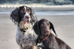 A working type english springer and cocker spaniels sat together. Working type english springer and cocker spaniels sat together on a sandy beach Stock Image
