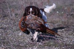 A working type english springer spaniel carrying a pheasant Stock Images