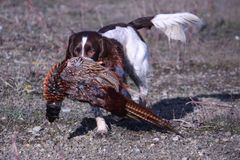 A working type english springer spaniel carrying a pheasant Royalty Free Stock Photo