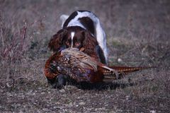 A working type english springer spaniel carrying a pheasant Royalty Free Stock Images