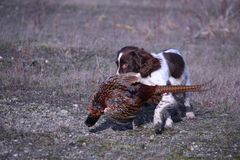 A working type english springer spaniel carrying a pheasant Stock Photo