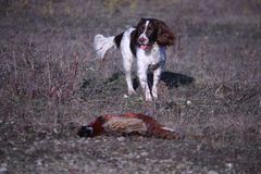 A working type english springer spaniel carrying a pheasant Royalty Free Stock Photos