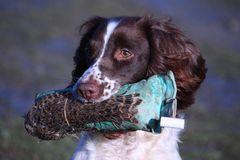 A working type english springer spaniel carrying a pheasant dummy Stock Photography