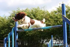 Working type english springer spaniel jumping over an agilty jump Royalty Free Stock Photos
