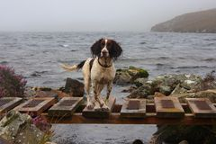 A working type english springer spaniel by a lake Stock Photography