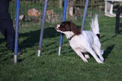 A Working type english springer spaniel pet gundog agility weaving Royalty Free Stock Image