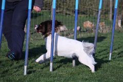 A Working type english springer spaniel pet gundog agility weaving Royalty Free Stock Photo