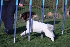 A Working type english springer spaniel pet gundog agility weaving Royalty Free Stock Photo