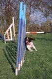 A Working type english springer spaniel pet gundog agility weaving Stock Image