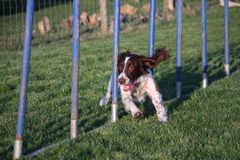 A Working type english springer spaniel pet gundog agility weaving Stock Photography