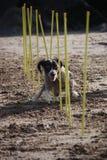A working type english springer spaniel pet gundog agility weaving on a sandy beach Royalty Free Stock Photos