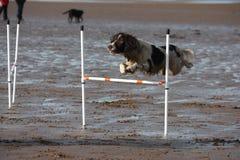A working type english springer spaniel pet gundog doing agility jumps on a sandy beach Stock Image