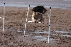 A working type english springer spaniel pet gundog doing agility jumps on a sandy beach Royalty Free Stock Photo