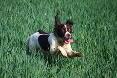 A Working type english springer spaniel pet gundog in a field of green crops Stock Image